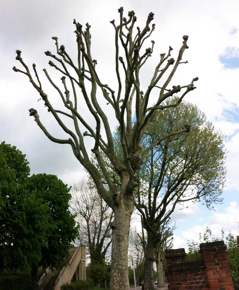 tree trimming – pollarding