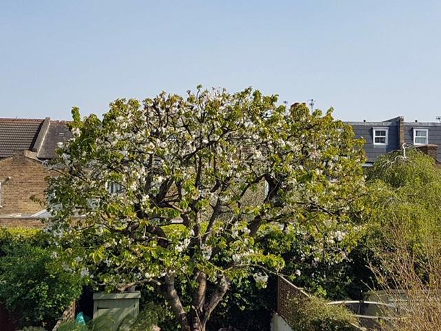 Client cherry tree